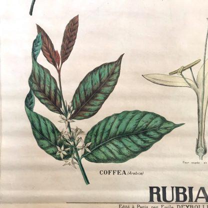 Affiche ancienne pédagogique Deyrolle, botanique, rubiacées