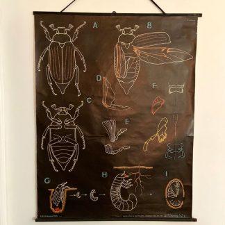 ancienne-affiche-planche-pedagogique-auzoux-hanneton-1