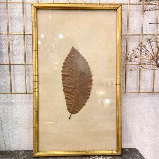 herbier-feuille-chataignier-sous-verre-cadre-dore-ancien-1